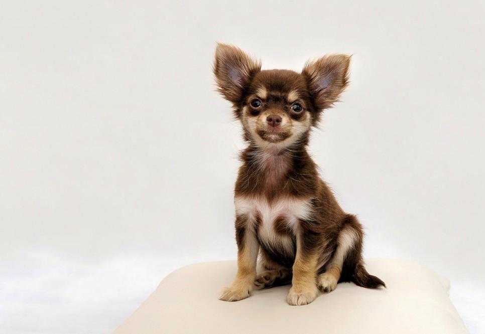 best dog breeds for emotional support